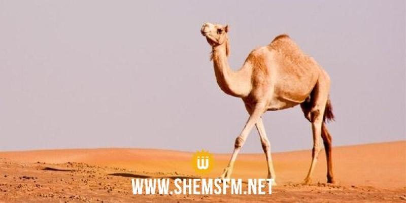 Arabie Saoudite : des dromadaires 'botoxés' disqualifiés d'un concours de beauté