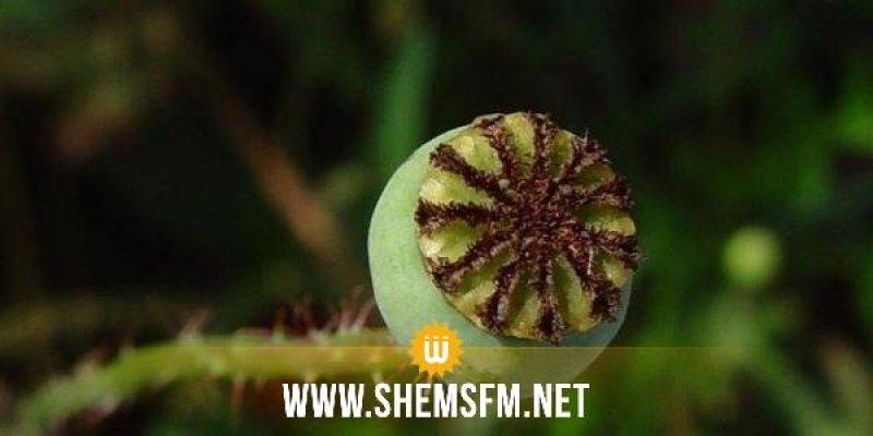 منوبة: ايقاف كهل من أجل زرع نبتة الخشخاش المخدرة في حديقة منزله