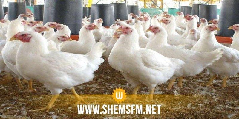 نابل: إعدام 5 الاف دجاجة في الحمامات وبرمجة إعدام 6 الاف اخرى في قربة