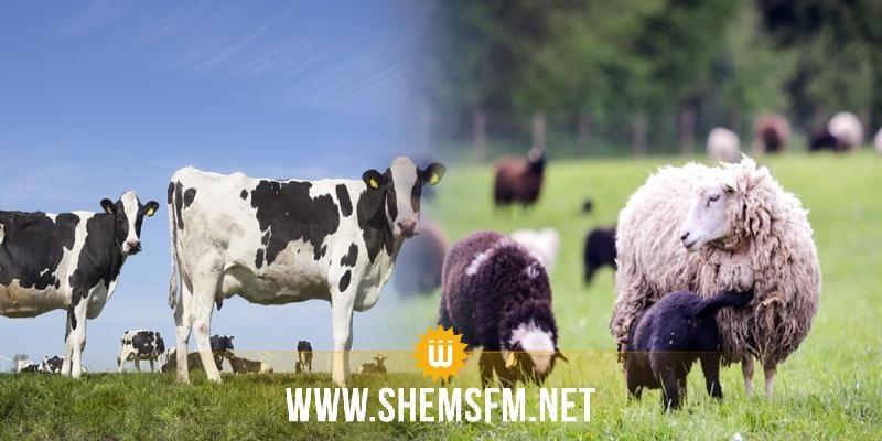 سيدي بوزيد: تسجيل 4 حالات إصابة بالحمى القلاعية في الأبقار والأغنام