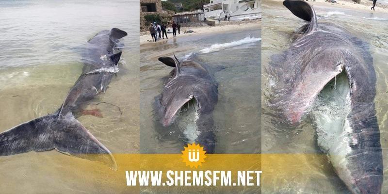باجة: خروج قرش كبير الحجم على شاطئ كاب نيقرو بنفزة