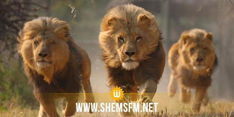 جنوب إفريقيا: هروب جماعي ل 14 أسدا من حديقة 'كروغر' والسلطات تحذر المواطنين
