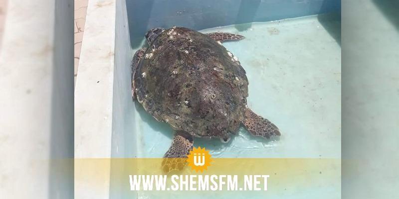 إنقاذ سلحفاة بحرية كبيرة الحجم في سواحل صفاقس (صور)