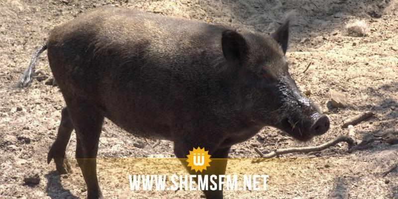 صفاقس: تشكيات من إتلاف الخنزير البري لمحاصيل اللوز والغلال