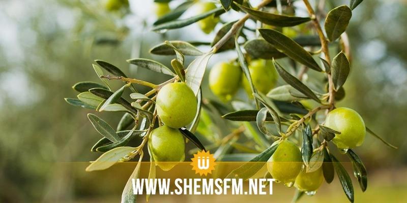 Mahdia : une récolte record des olives estimée à 250 mille tonnes