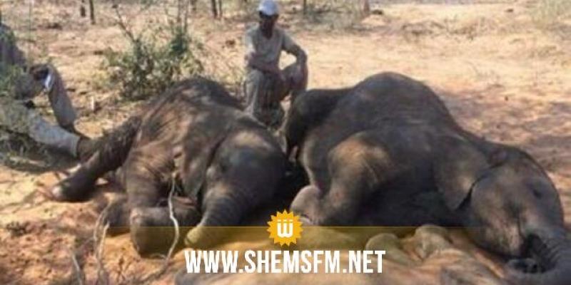 زيمبابوي: نفوق 50 فيلا جوعا وعطشا في محمية