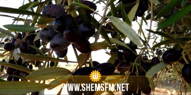 سوسة: سرقة محصول ضيعات الزيتون عن طريق قطع أغصان وجذوع الأشجار