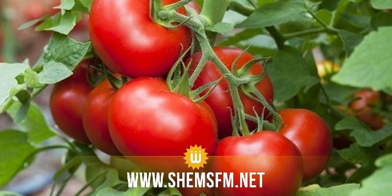 اتحاد الفلاحة يدعو إلى عدم التسرع في زراعة الطماطم الفصلية المعدة للتحويل