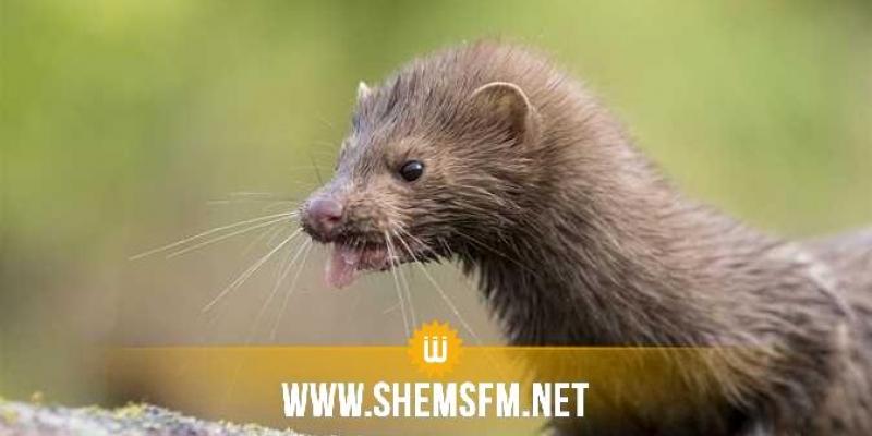 هولندا تسجل عدوى جديدة بكورونا مصدرها حيوان ''المِنك''