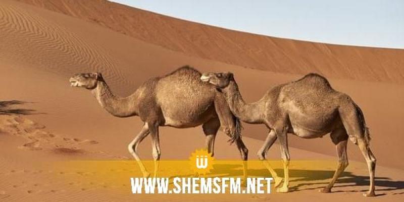 صحراء دوز: إيقاف مهربين وحجز جمل على متنه هواتف جوالة من النوع الرفيع