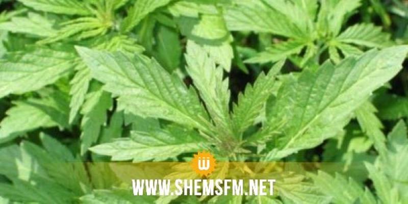 منوبة: الاحتفاظ بشخص زرع الماريخوانا في منزله لـ'علاج زوجته'