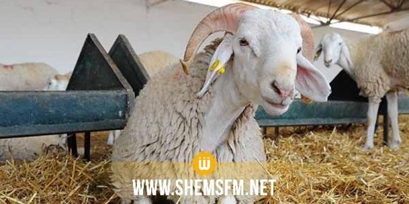 بداية من 28 جويلية: انطلاق في بيع أضاحي العيد بالميزان في أريانة