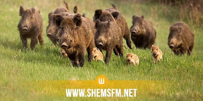 تسبب في حالة من الخوف والذعر في صفوف الأهالي: القضاء على قطيع من الخنازير الوحشية بمدنين