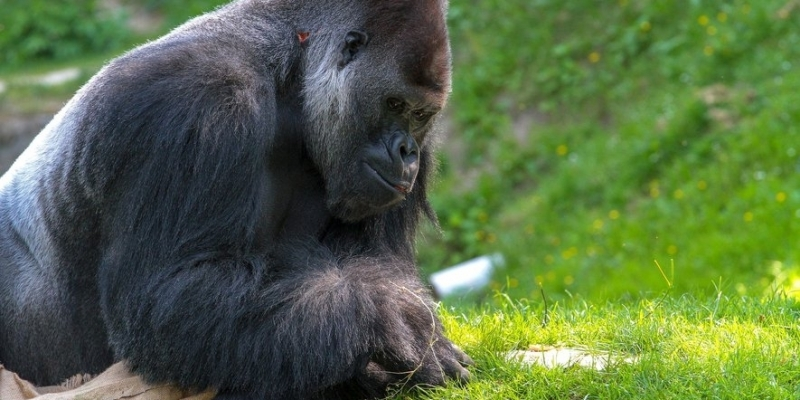 Espagne : un gorille de 200 kg attaque sa gardienne dans un zoo