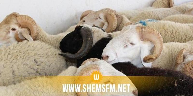 بيطري يُحذر من نفوق ثُلث القطيع بسبب عدم توفير اللقاح لمرض اللسان الأزرق