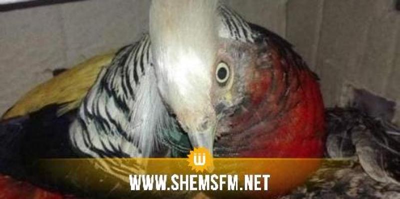 كانت ستُهرَّب للجزائر: حجز طيور نادرة مهددة بالانقراض في طبرقة (صور)