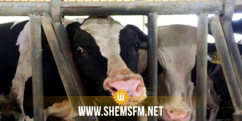 الديوانة التونسية: منع باخرة لبنانية مُحملة بالأبقار من دخول ميناء بنزرت